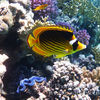 photo - yellow and black angel fish