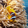 photo - clown fish egypt